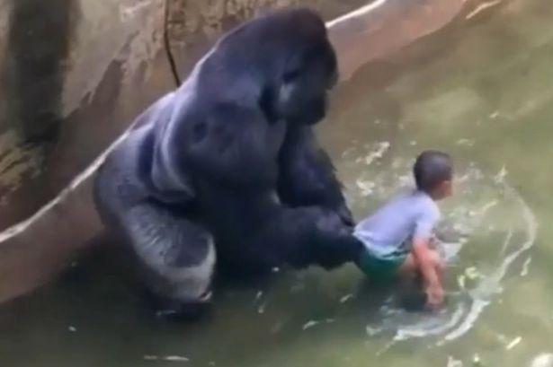 gorilla-harambe